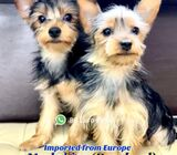 Yorkshire Terrier for Sale (Imported from Europe) 88 Euro Pets