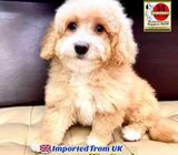 Cavapoo for Sale 88 Euro Pets Call 81352277 (Imported from UK)