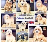 Puppies for Sale 88 Euro Pets (Imported from Europe) Call 81352277