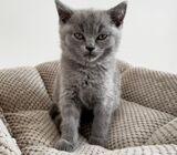Healthy British Shorthair kittens