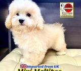 Mini Maltipoo Puppies for Sale (Imported from UK) Call 81352277