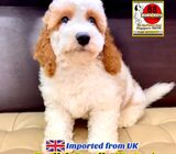 English Doodle Puppies for Sale 88 Euro Pets Call 81352277