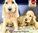 Cocker Spaniel Puppies for Sale 88 Euro Pets Call 81352277 (Imported from UK)