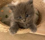 4 Mainecoon X kittens