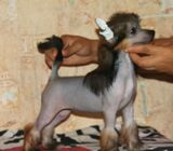Hairless Chinese Crested Pups