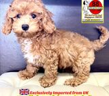 English Maltipoo for Sale 88 Euro Pets Call 81352277