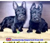 Scottish Terrier for Sale 88 Euro Pets Call 81352277