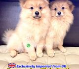 Pom for Sale 88 Euro Pets Call 81352277 (Imported from UK)