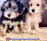 Morkie for Sale 88 Euro Pets Call 81352277 (UK Imported)