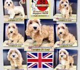 English Cavapoo for Sale 88 Euro Pets Call 81352277 (UK Imports)