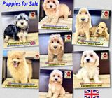 Puppies for Sale 88 Euro Pets Call 81352277 (Imported from UK)