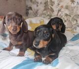 Dachshund Puppies available for a new home.