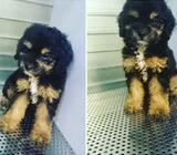 very Rare Black Tan TOY POODLE! CHECK us out at hp 85339046