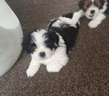 Pure Lhasa Apso Puppies.