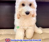 Maltipoo for Sale 88 Euro Pets (Imported from UK) Call 81352277