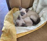 Beautiful blue/sealpoint Siamese kittens.