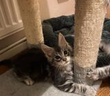 Beautiful pedigree Maine Coon kittens available