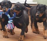 Top Quality  Doberman Puppies
