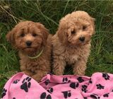 Stunning Cavapoo Girls and boys available