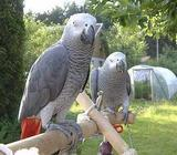 Baby Hand Reared African Grey Parrots For Sale